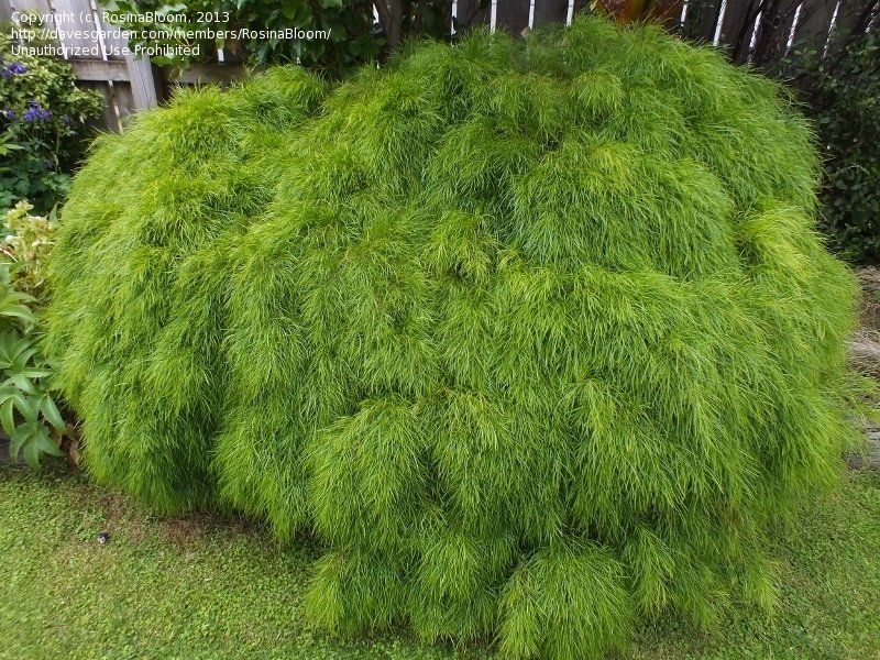 Plantfiles Pictures Bower Wattle River Wattle Limelight Acacia Cognata By Rosinabloom Garden Shrubs Plants Small Trees