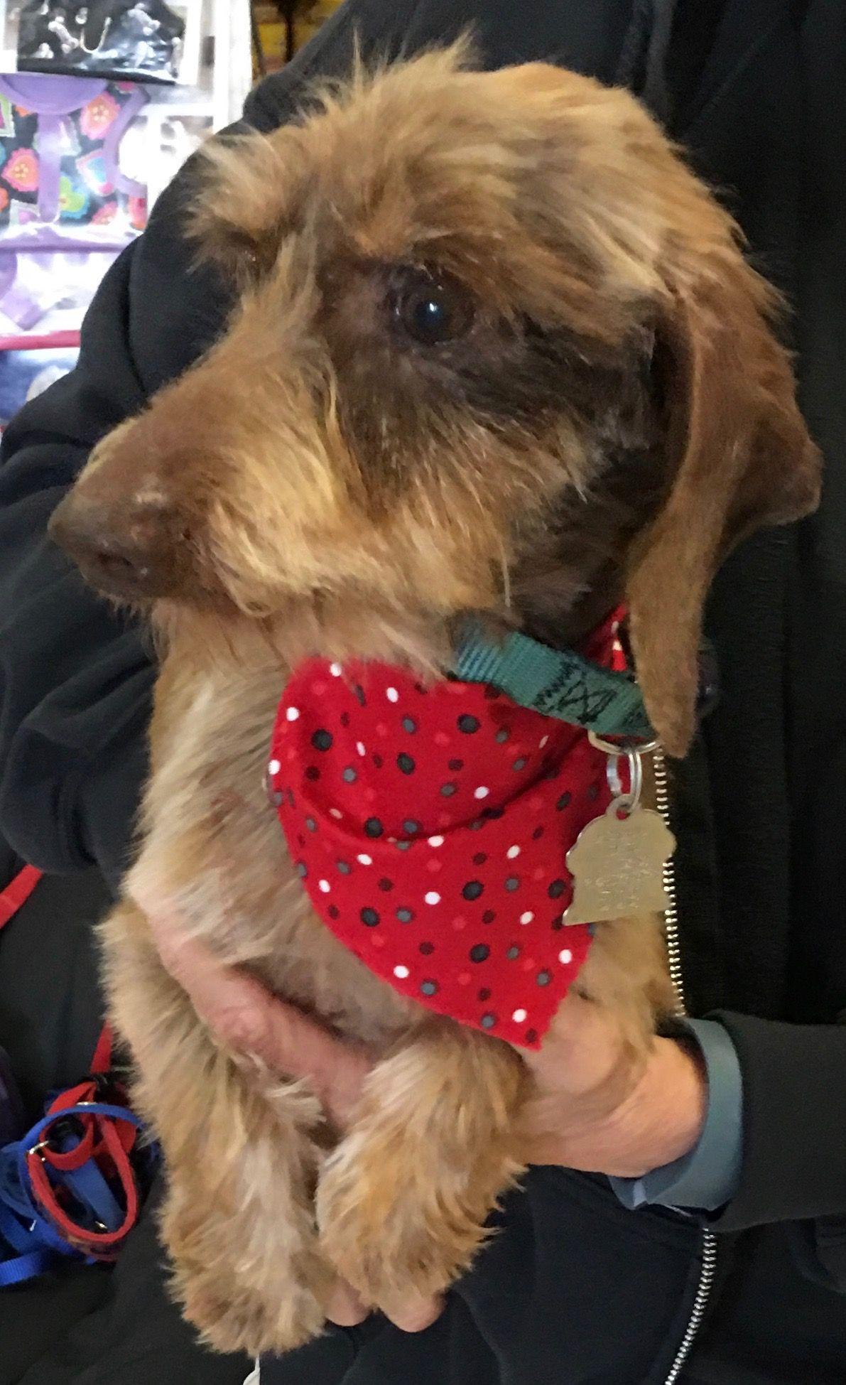 Dachshund dog for Adoption in Dallas, TX. ADN216391 on