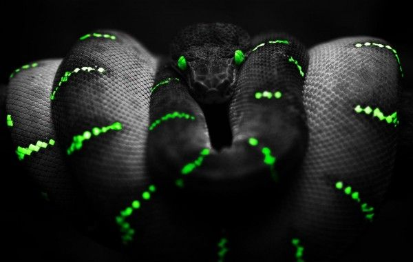 Black With Green Snake Wallpaper Wallpapers 4k Ultra Hd Wallpapers Download Now Fondo De Pantalla De Serpiente Fonfo De Pantalla Serpientes