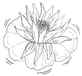 Lotus Flower Easy Image To Trace Or Draw