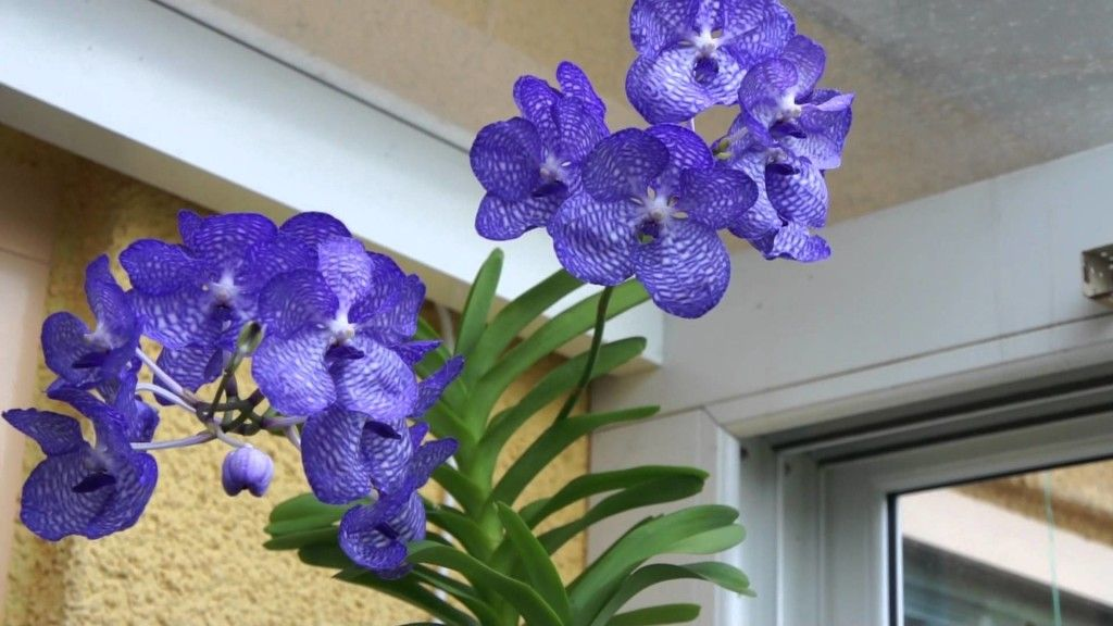 cuidados-orquidea-vanda-especie | PAISAGISMO - ORQUÍDEAS | Pinterest ...