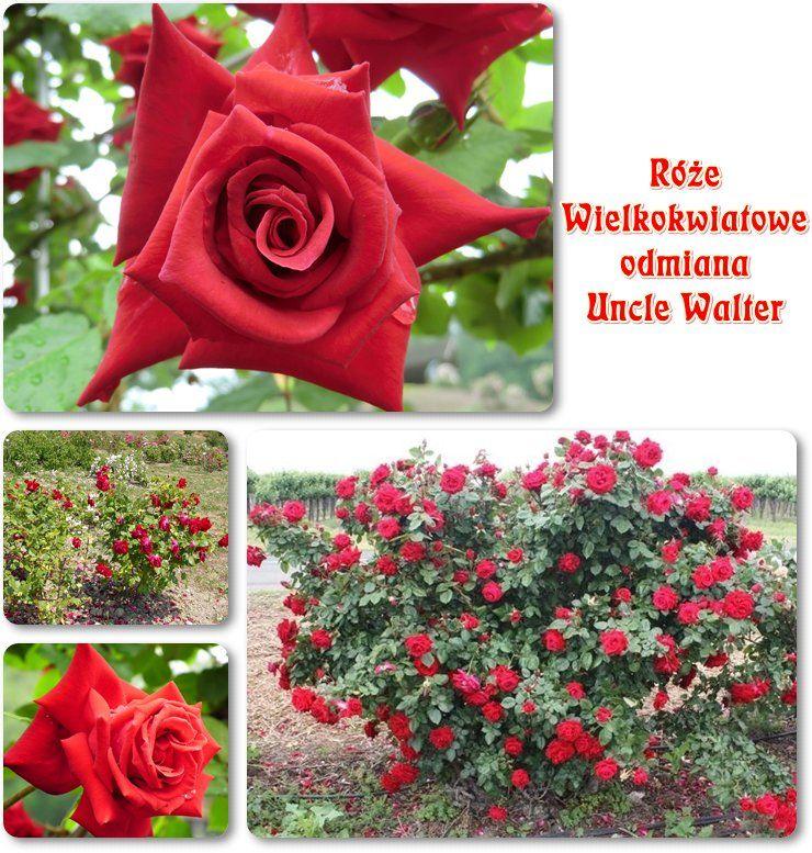 Uncle Walter Roze Wielkokwiatowe Rose Flowers Plants