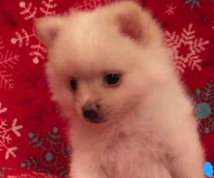 Litter Of 4 Pomeranian Puppies For Sale In Kennesaw Ga Adn 45329