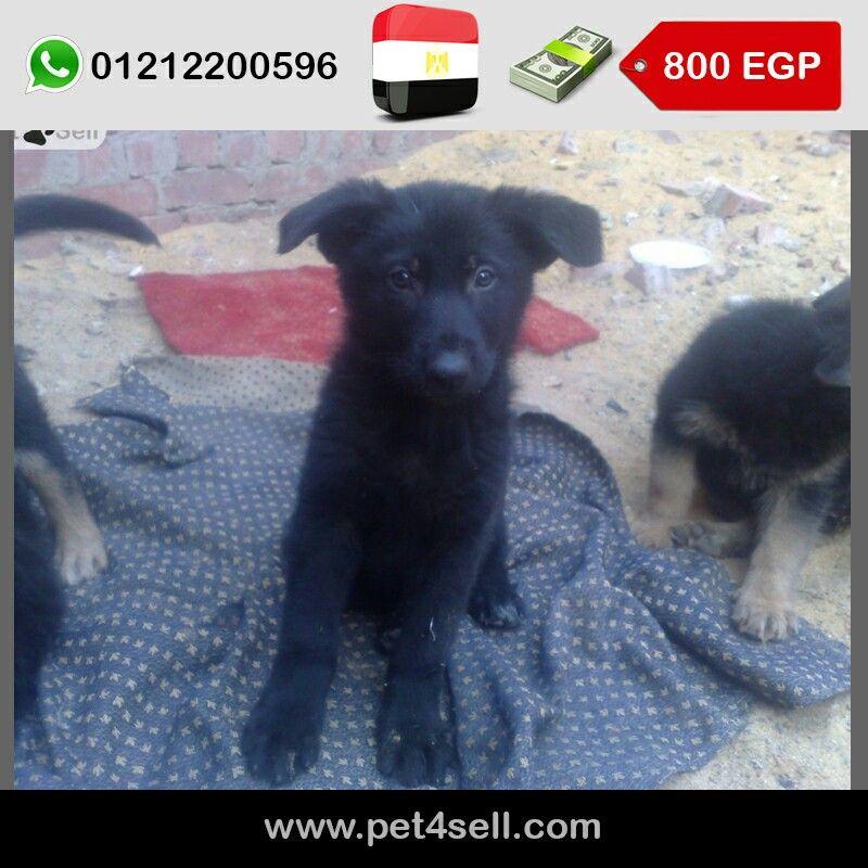 مصر القاهرة جرو جيرمن بلاك كوت عمر 50 يوم Pet4sell Dogs Animals