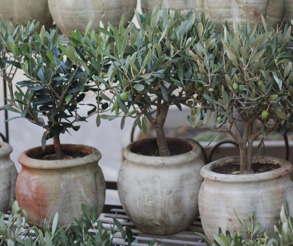 Olivenbaum Der Mediterrane Baum Im Garten Plantura Baum Der Garten Mediterrane Oliv In 2020 Pflanzen Olivenbaum Pflanzen Pflege