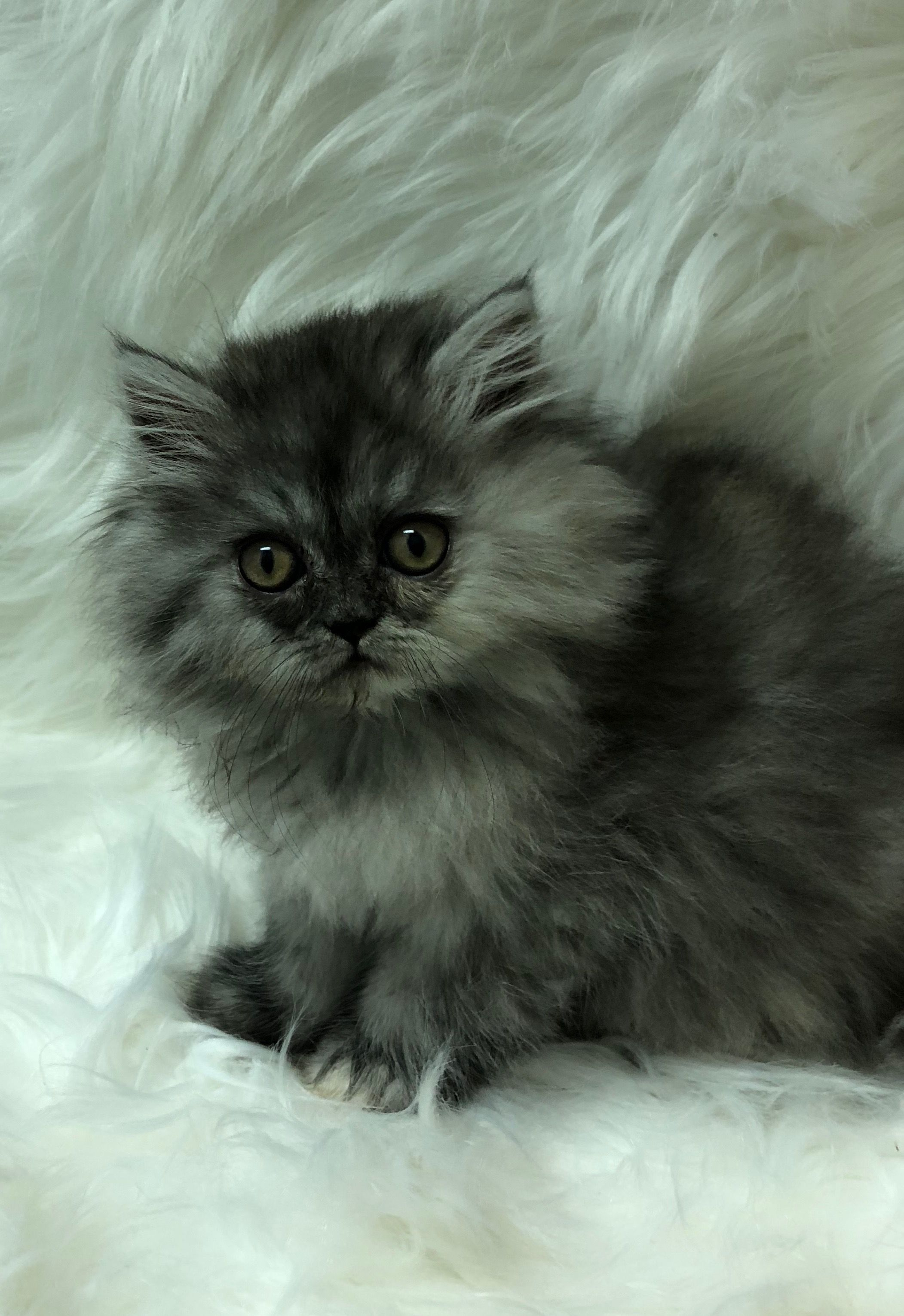 Pin By Kitty Cature Cattery On Gallery Of Persian Kittens For Sale Archived Sold Beautiful Kittens Persian Kittens For Sale Persian Kittens