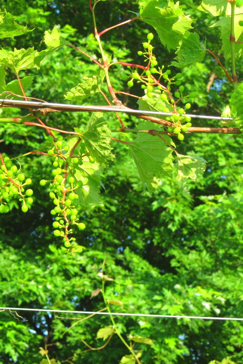Growing Black Corinth Grapes And Growing Grape Vines From Green Cuttings In 2020 Growing Grapes Grapes Grapevine Growing