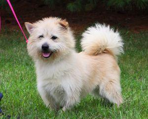 Adopt Homer On American Eskimo Dog Dog Mixes White Terrier