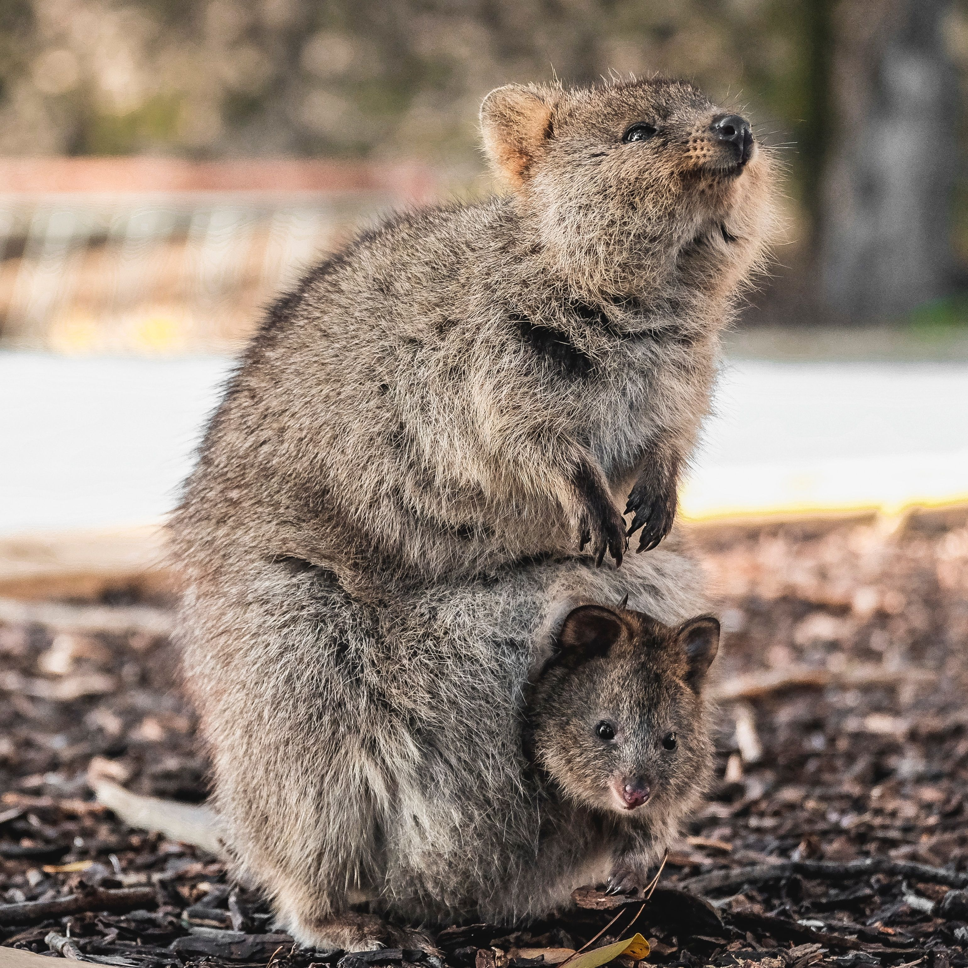 Quokka are known for their fearlessness and smiles. These