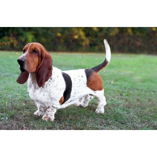 Basset Hound i really want one