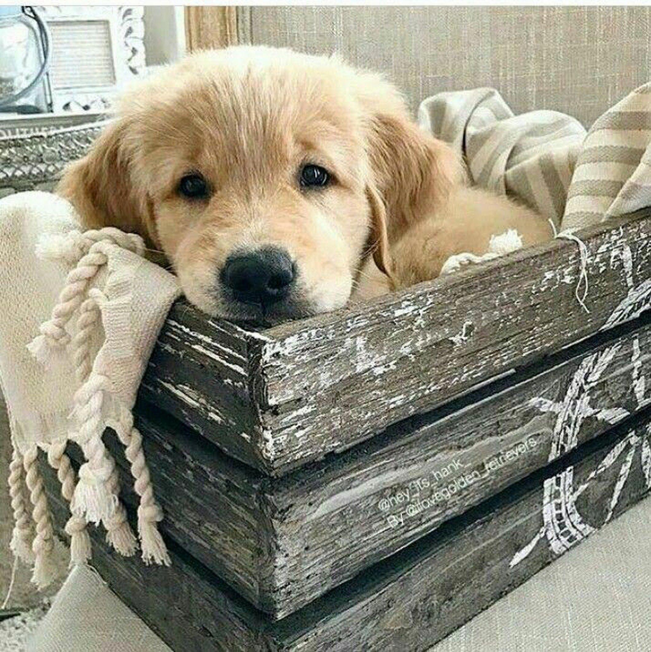 Adorable Golden Retriever Puppy Cute Puppies Becky Palmer