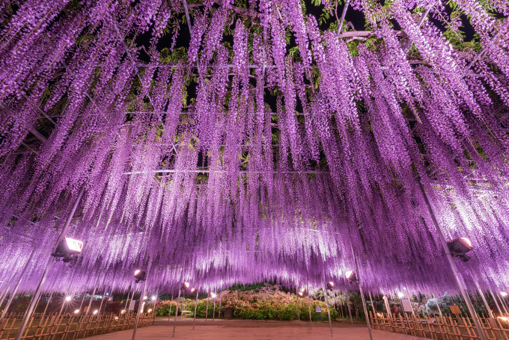 The Great Wisteria Festival 2019 Will Be Held In Ashikaga Flower Park From Saturday 13th April During The Festival The Park W In 2020 Ashikaga Wisteria Tree Wisteria