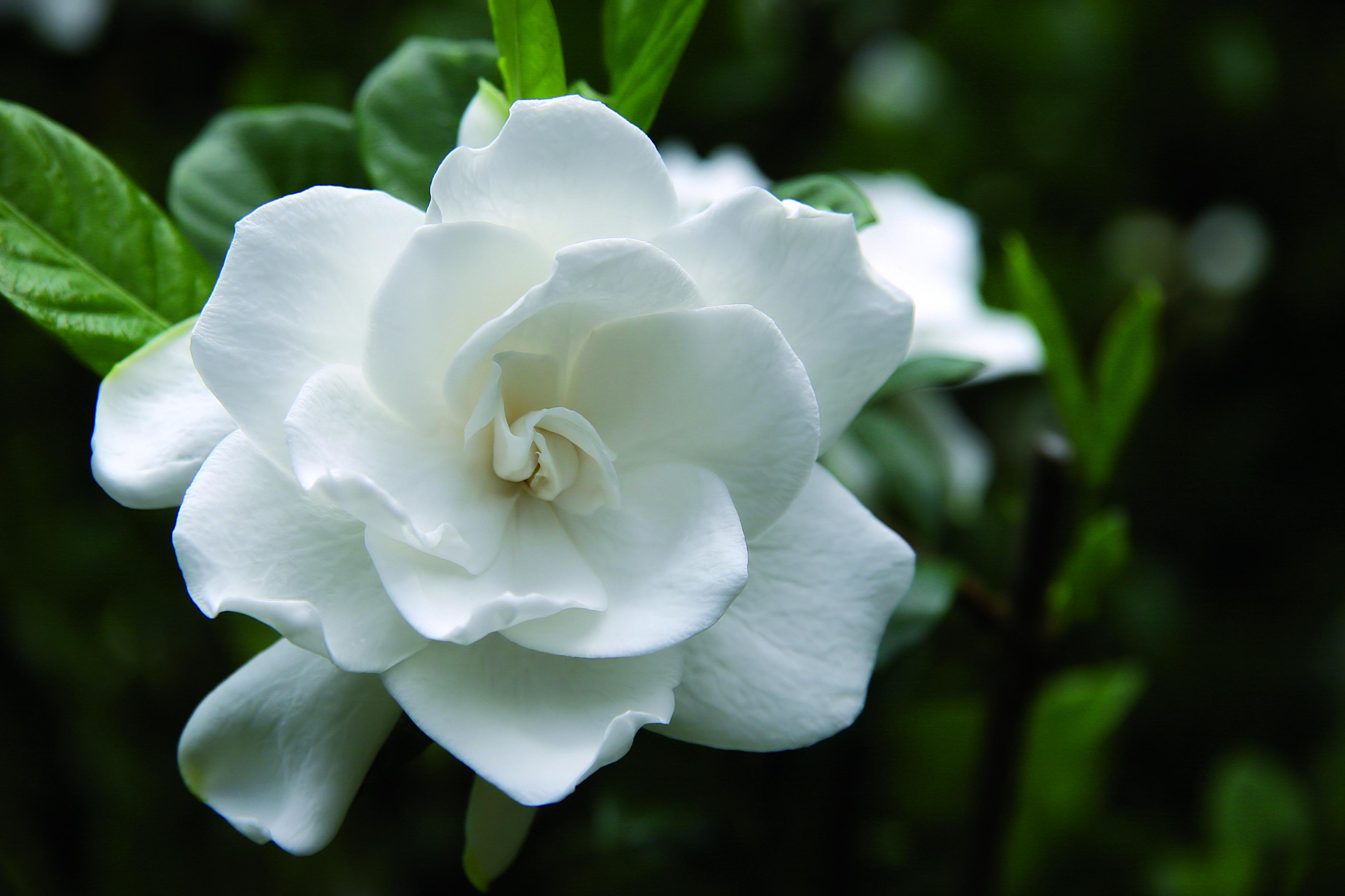Fiori Gialli Gardenia.Gardenia Jasminoides Fiori Fiori Esotici Fiori Primaverili