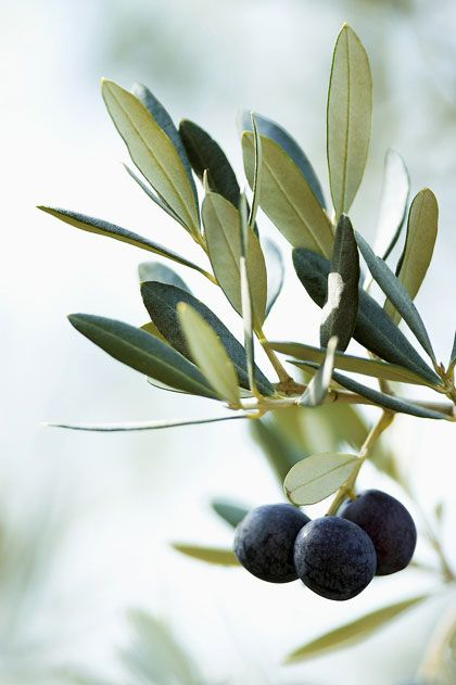 The Olive Branch Has Always Been Regarded As The Symbol Of Peace