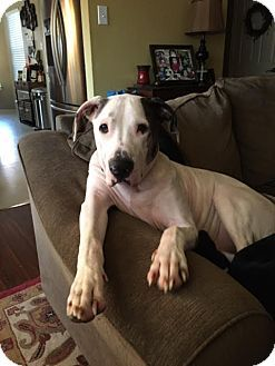 Dallas Tx Great Dane American Bulldog Mix Meet Samson A Dog