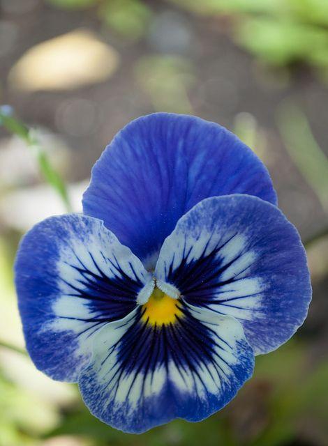 Blue Pansy Pansies Flowers Pansies Flowers