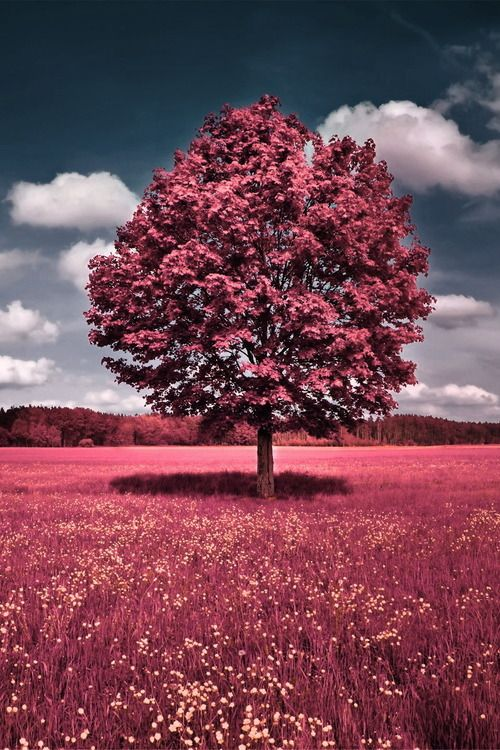 Rose Tinted Beauty Pink Nature Spring Wallpaper Pink Trees