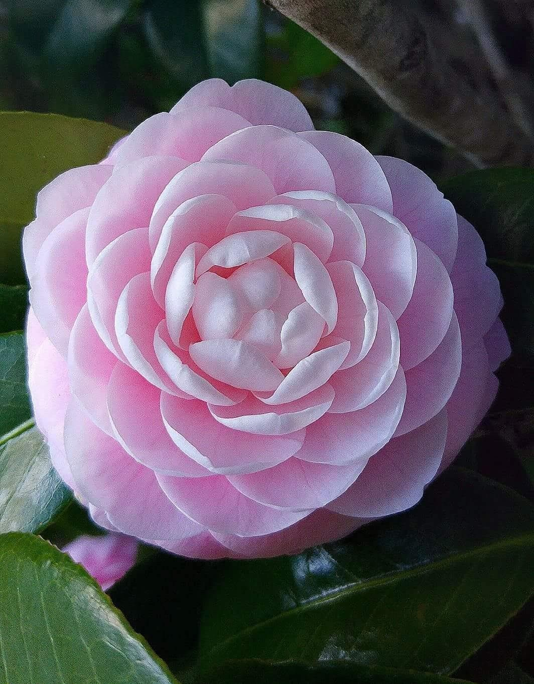 Japanese Camellia Pink Flowers Photography Beautiful Pink Flowers Pretty Flowers