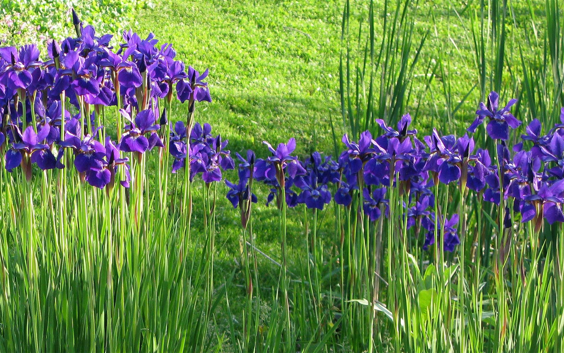 Mini floating iris flowers google search design gardens mini floating iris flowers google search izmirmasajfo Gallery