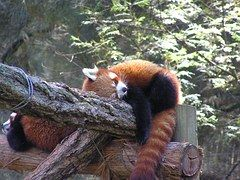 Sleepy RedPanda