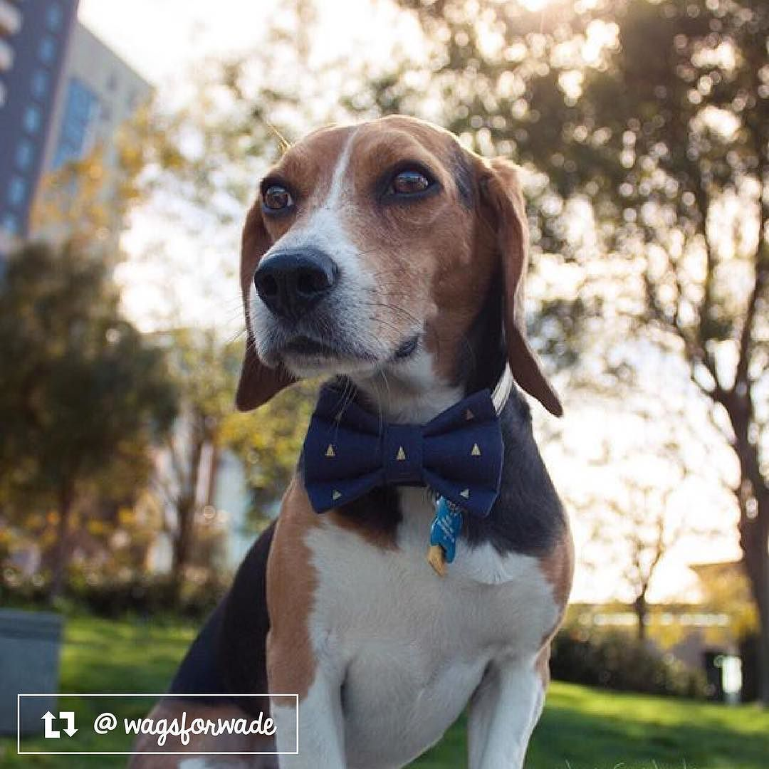 Wade The Beagle From San Francisco Ca Beagle Pup Instagram