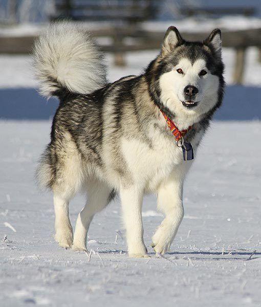 The Best Dog Breed For Each State Siberian Husky Dog Dog Breeds