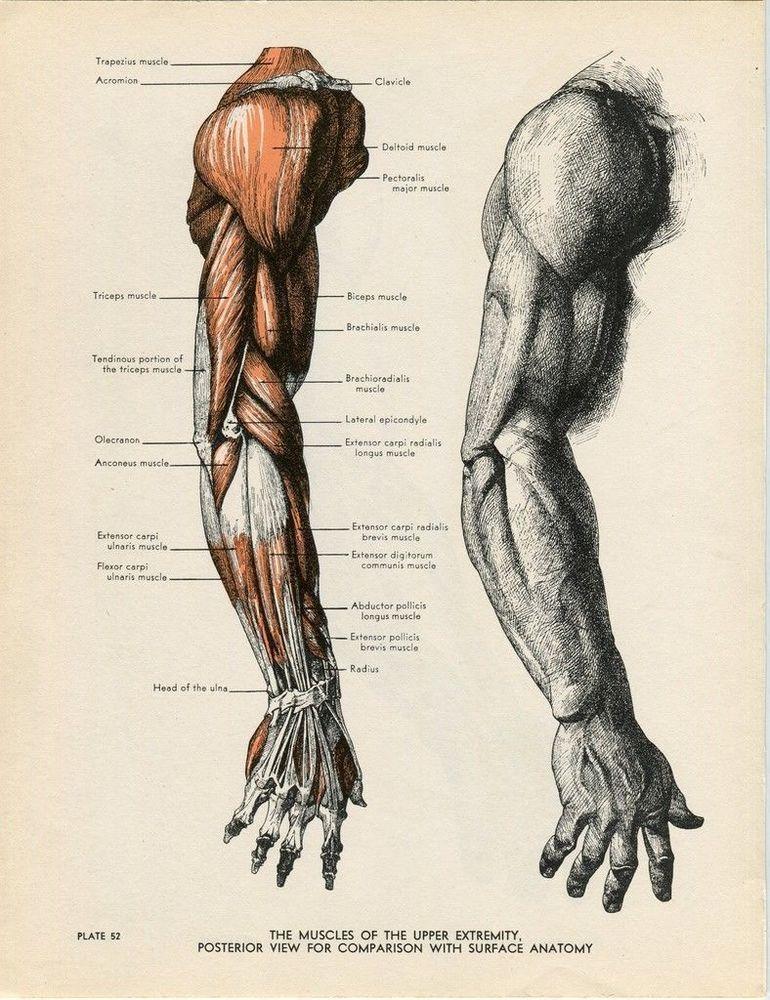 Arm Anatomy Illustration Vintage 1947 Reproduction of Fritz Schider ...