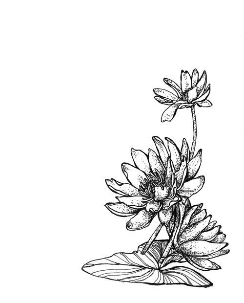 Water Lily Drawings For Tattoos