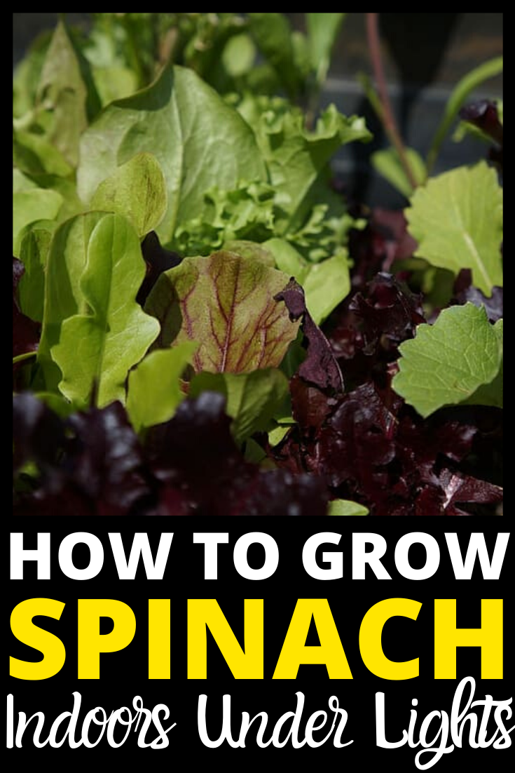 Each Plant Of Spinach Needs At Least 3 Inches Of Space If Your Variety Produces Big Leaves In 2021 Growing Spinach Container Gardening Vegetables Growing Vegetables
