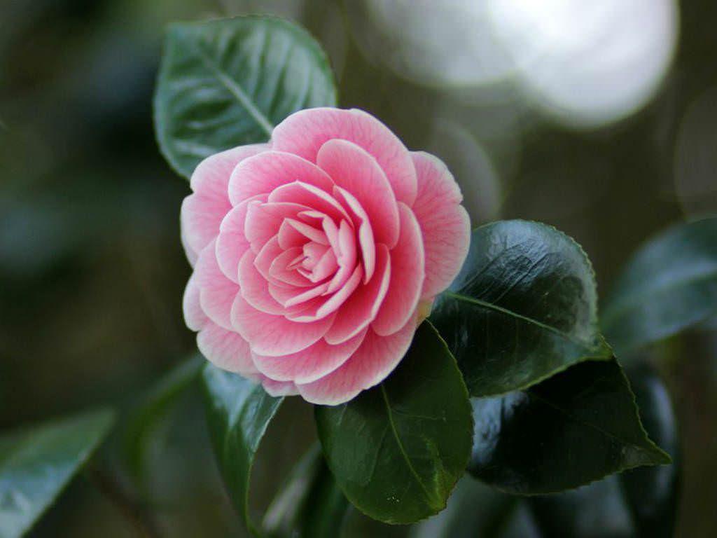 Camellia Japonica Japanese Camellia Camellia Flower Pretty Flowers Rose Plant Care