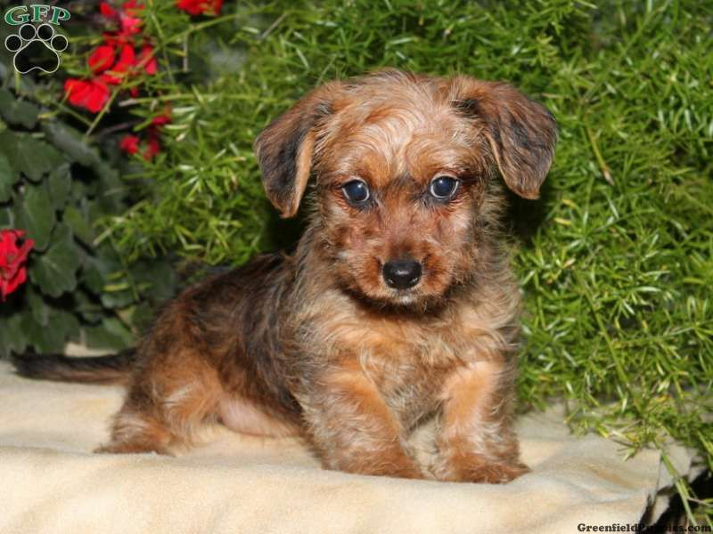 Kimberly Dorkie Puppy For Sale From Paradise Pa Puppies