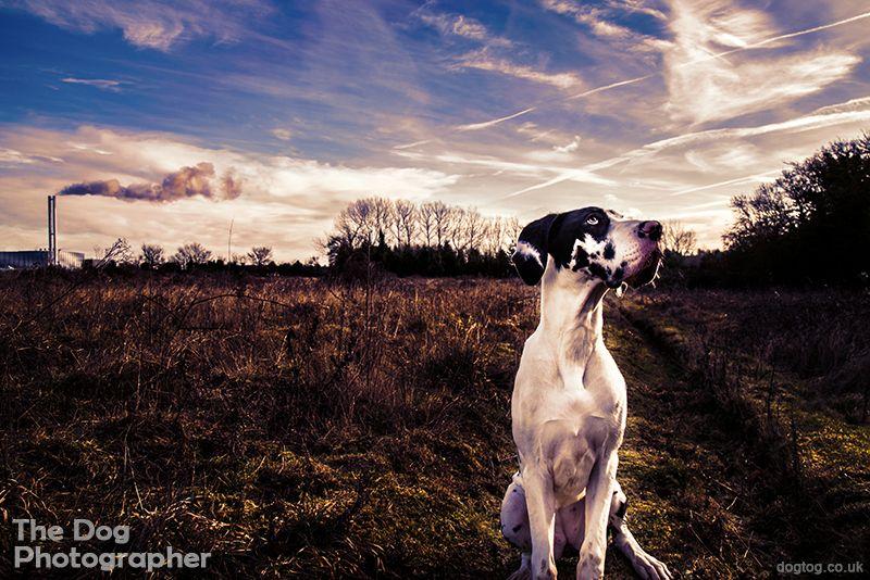 The Dog Photographer Dog photograph, Harlequin great