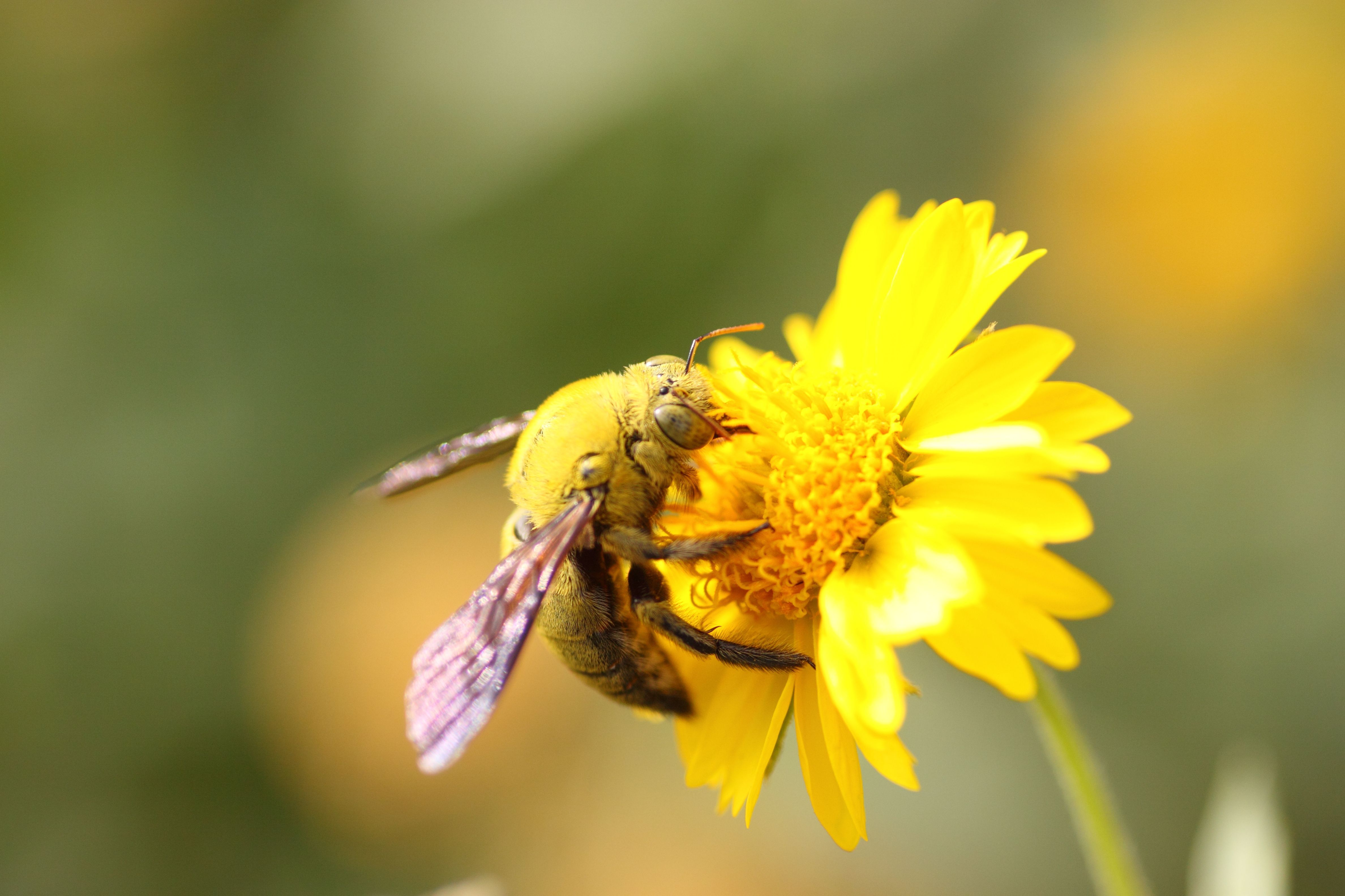 Carpenter bees and how to get rid of them carpenter bee