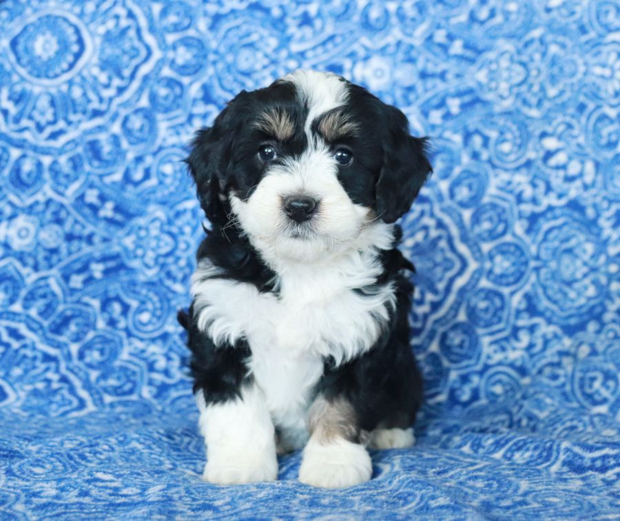 Pin By Buckeye Puppies On Pets Tips In 2020 Bernedoodle