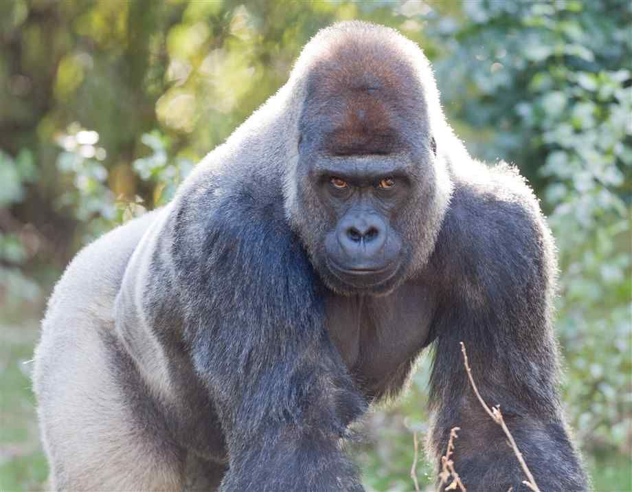 Angry Silverback Gorillas gorrila photes | Angry...