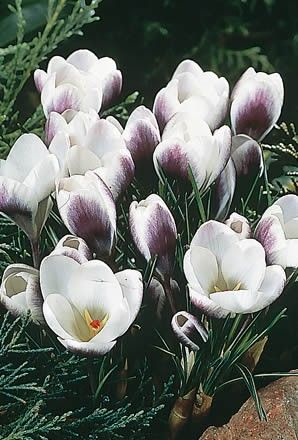 Crocus Prins Claus - Crocus Bulbs (Corms)