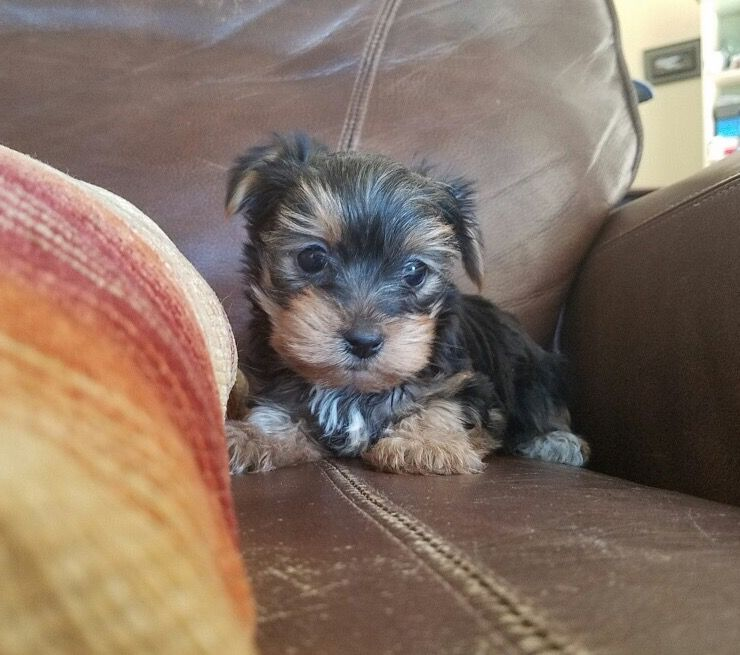 Yorkshire Terrier Puppy For Sale In Los Angeles Ca Adn 27792 On