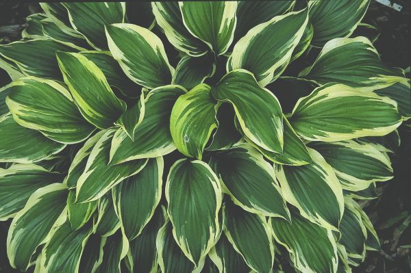 Hostas For Sale >> Hosta Iceberg Shade Garden For Texas Zone 9 Shade Plants