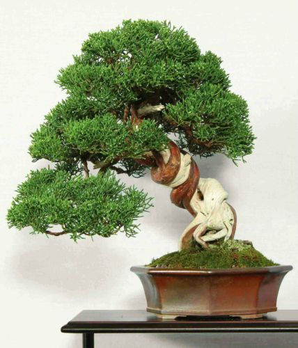 CHINESE JUNIPER Juniperus chinensis BONSAI 50 seeds