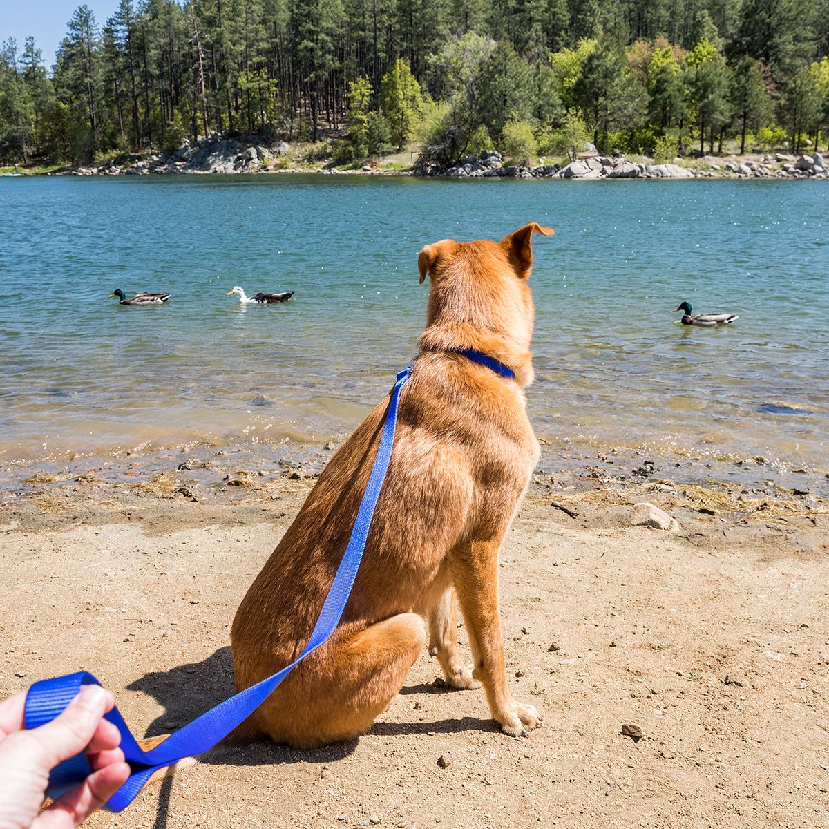 Dog Collars Harness Training Leash Petsmart Dog Collars Leashes Reflective Dog Harness Dogs