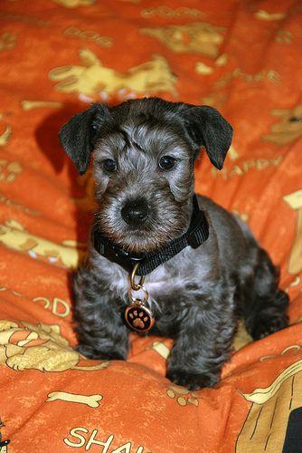 Cesky Terrier Czech Terrier Cesky Terier Bohemian Terrier