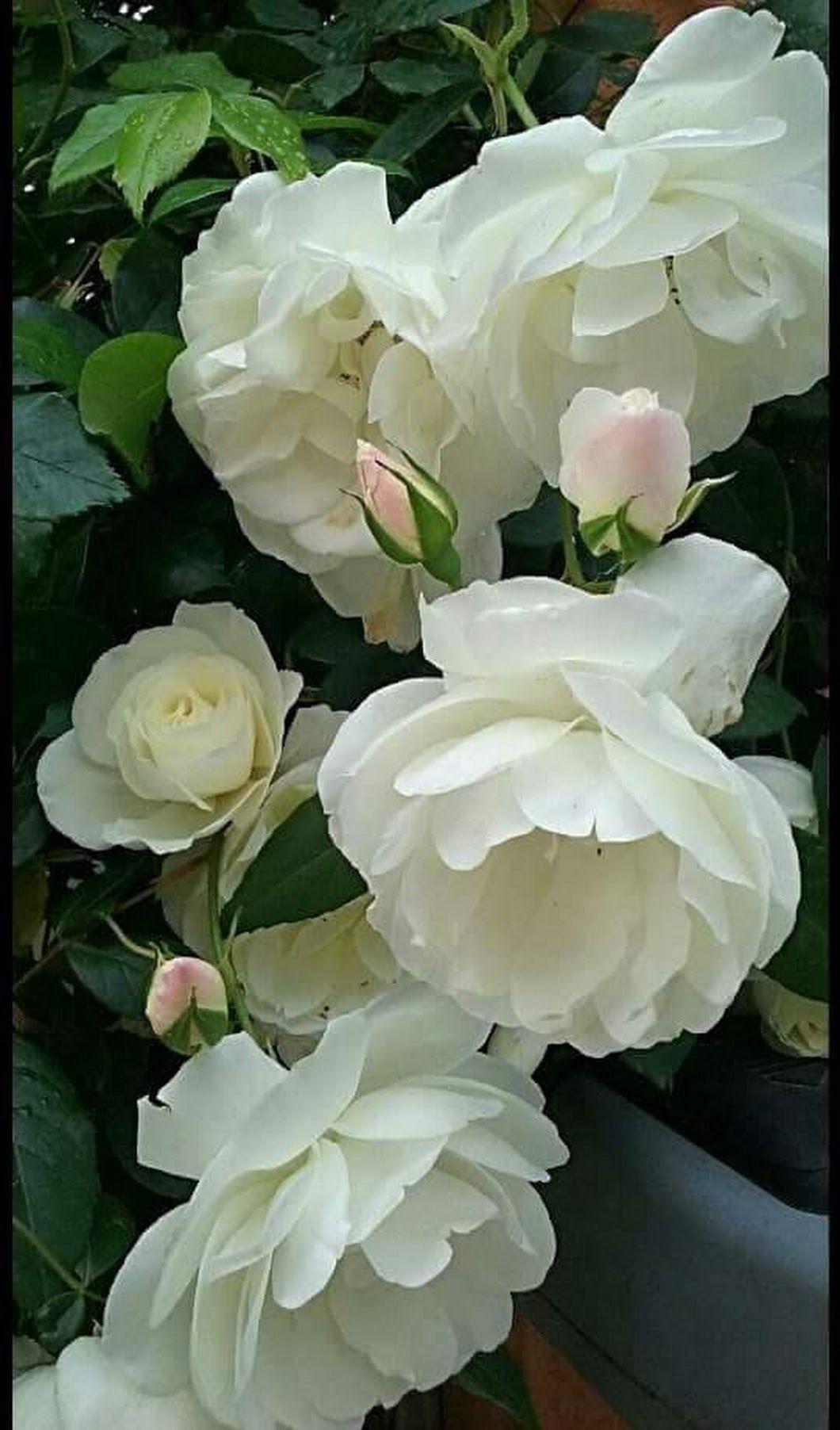 Pin By Gabriella On Fleur Pinterest Flowers Flower And Gardens