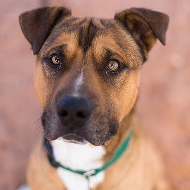 Adoptable Dogs Mastiff dogs, Dogs, Cute dogs