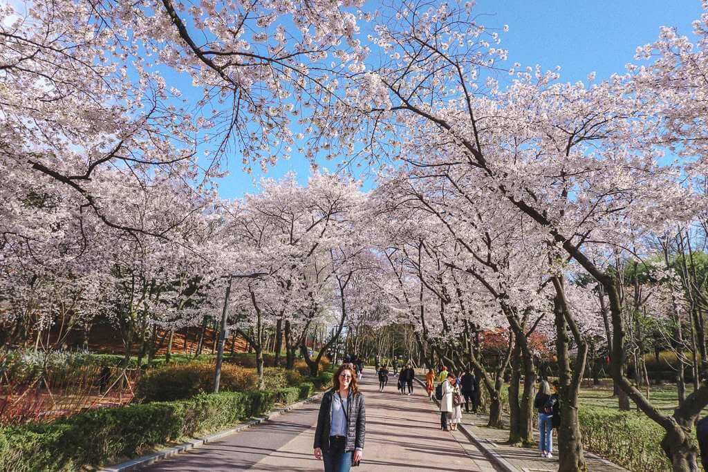 Where To See Cherry Blossoms In Seoul Korea Korea Travel Cherry Blossom Festival Cherry Blossom