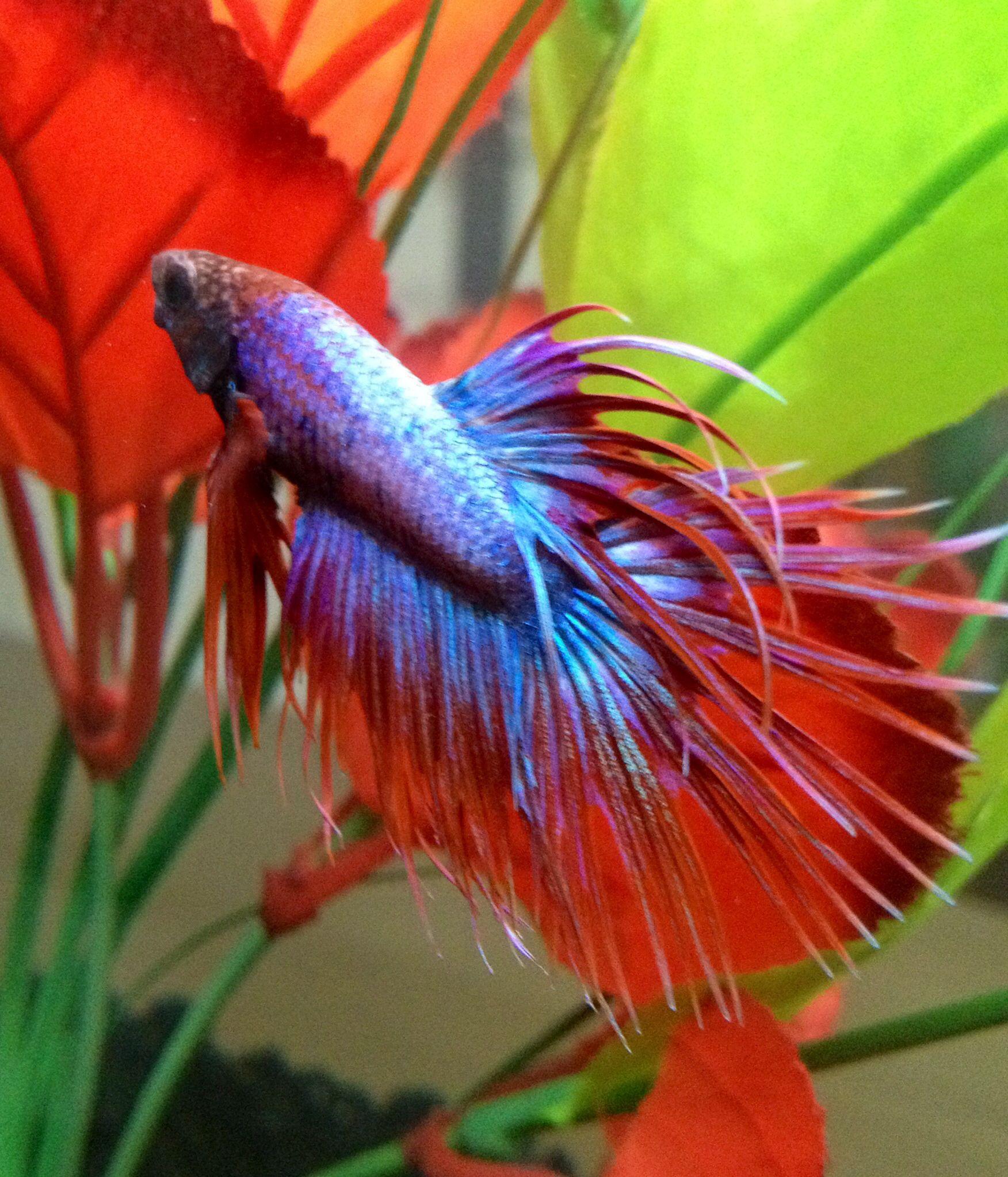 Beautiful Crowntail Betta | Betta fish, Betta tank, Betta - photo#9