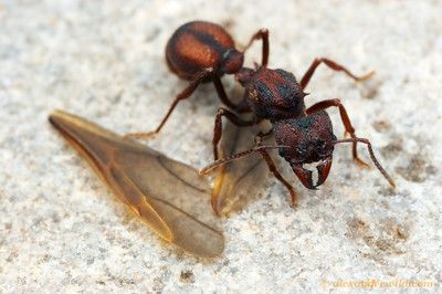 After Mating A Young Leafcutter Ant Queen Sheds Her Wings Acromyrmex Versicolor Tucson Arizona Usa Ants Queen Ant Insect Photography
