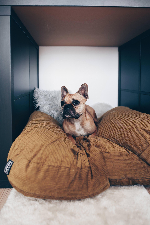 Hunde Facts Zur Franzosischen Bulldogge Hundeblogger Aus Osterreich Fawn Frenchie Style Blog Www Thepaw Mit Bildern Franzosische Bulldogge Bulldogge Franzosische Hunde