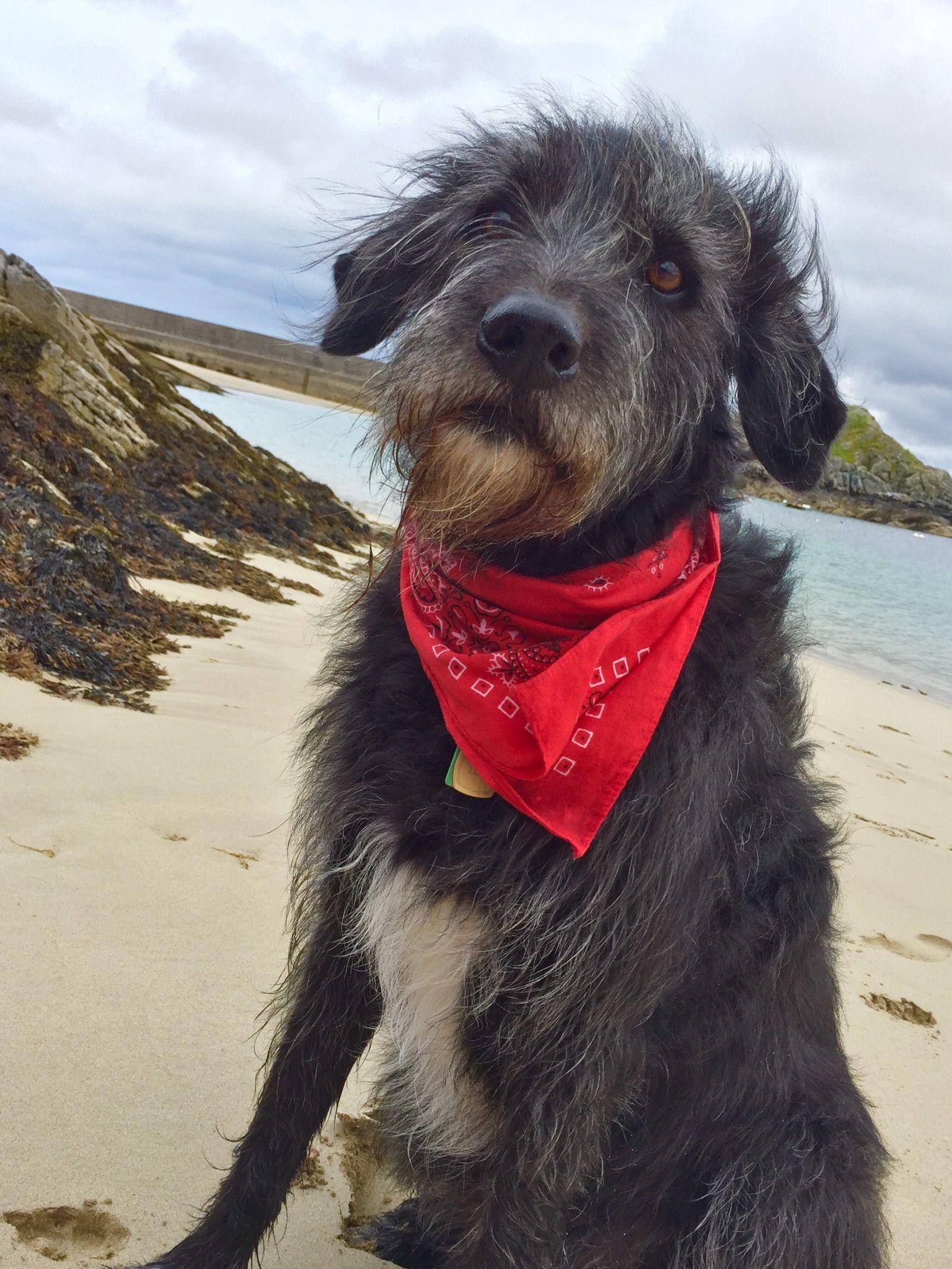 Bearded Collie Cross Greyhound Bearded Collie Collie Greyhound