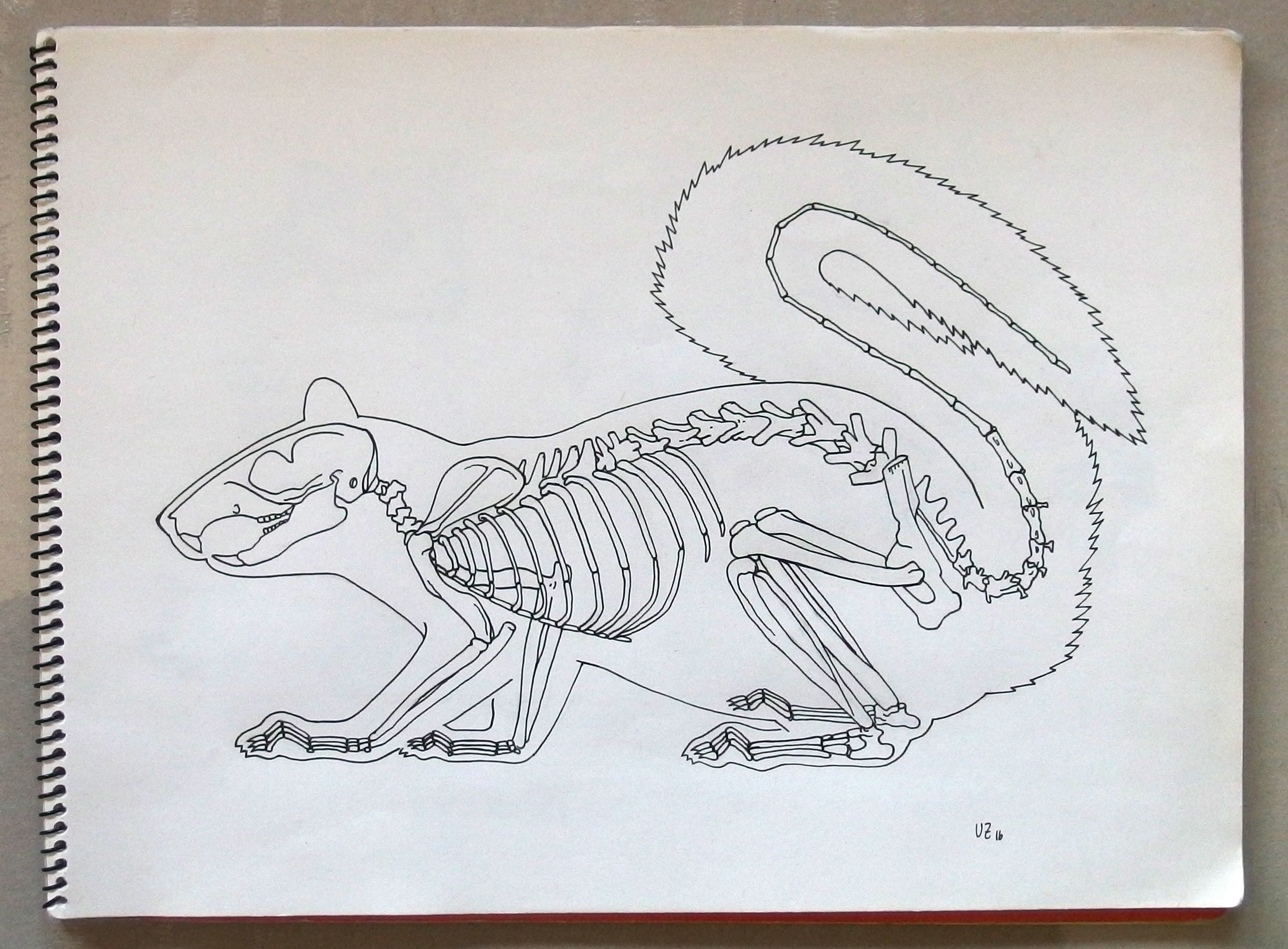 SCIURUS CAROLINENSIS Ardilla Gris, Noreamerica Dibujo hecho a partir ...