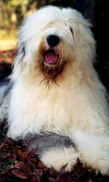 A very happy Old English Sheepdog